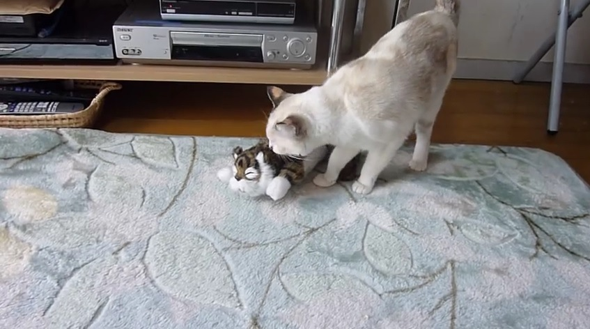 おもちゃの匂いを嗅ぐ猫
