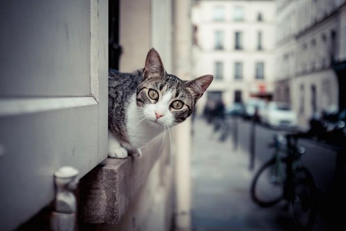 窓から顔を出して外を見る猫