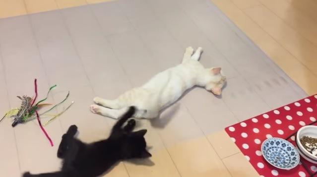 尻尾を持ち上げる白猫とじゃれる黒猫