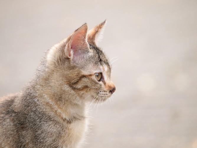 遠くを見つめる子猫の横顔