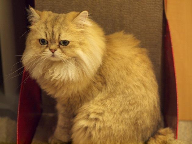 ハーマイオニーが好きそうな猫