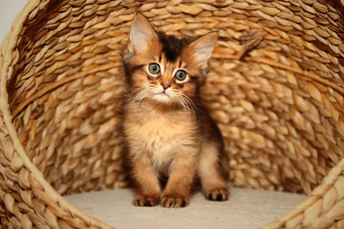 椅子に座るソマリの子猫