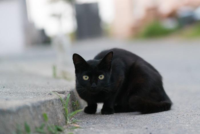 こちらをみる黒い野良ネコ