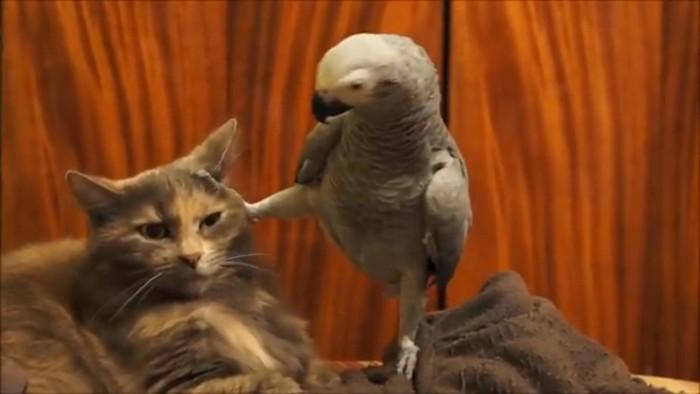 猫の顔に足をあげるオウム