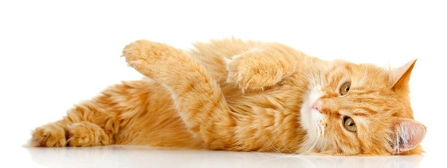 寝転がるもふもふ猫