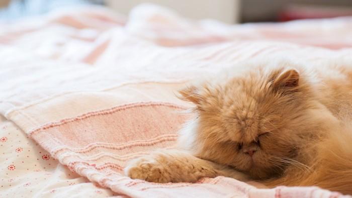 ベッドの上で前足を伸ばして寝るペルシャ猫