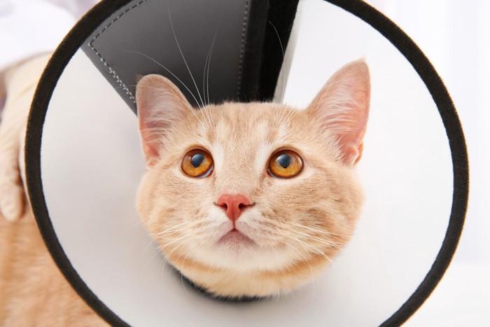 エリザベスカラーから覗く猫