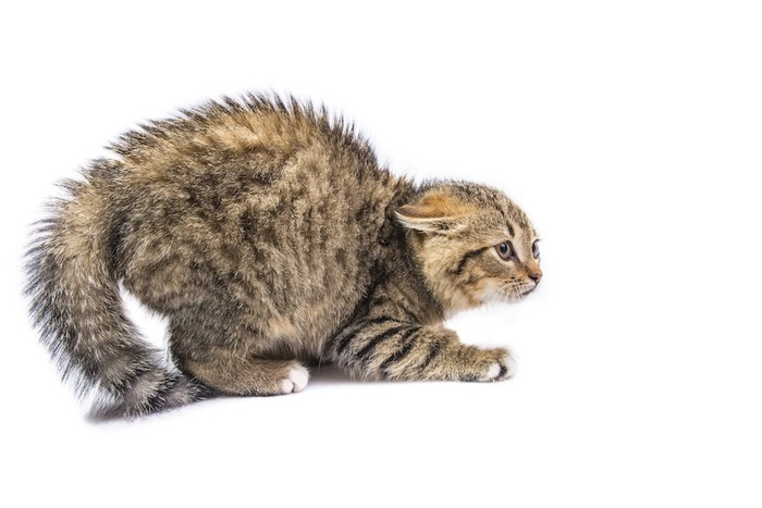 怯えて身体の毛を逆立てる猫