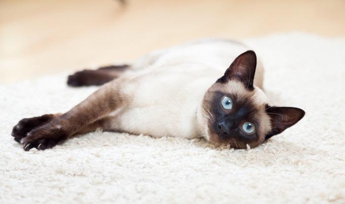 カーペットの上で寝転んでいるシャム猫