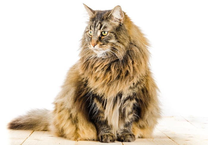 ゴージャスな毛並みの長毛猫