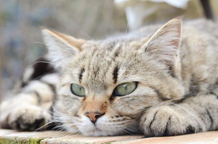 つまらなそうな表情の猫の顔アップ