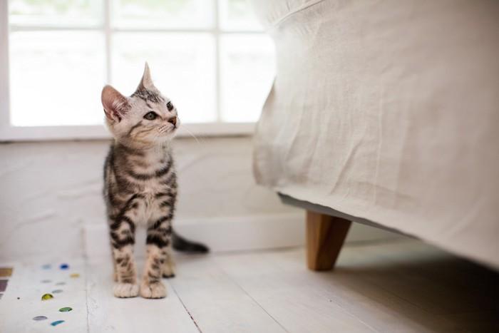 ソファーを見つめるアメショーの子猫