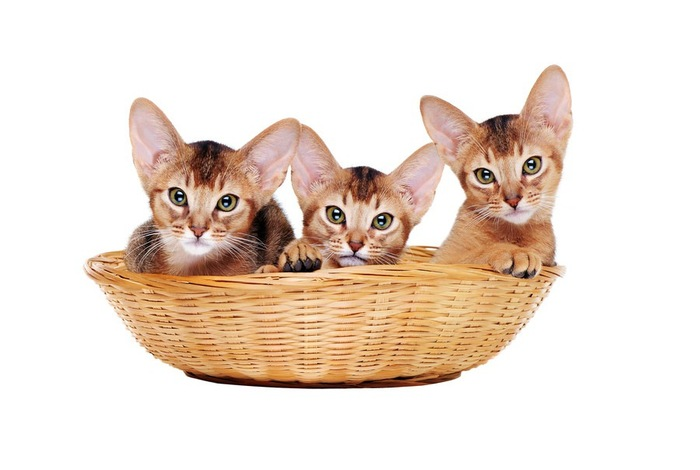 バスケットに入っている3匹のアビシニアンの子猫