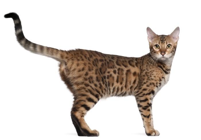 ベンガル猫白い背景