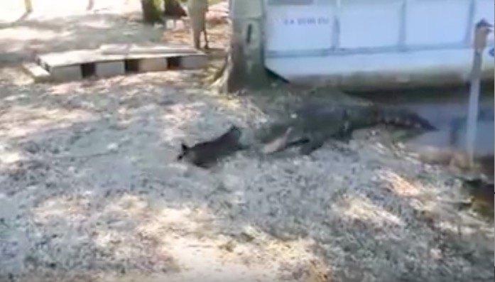 ワニに攻撃をする猫