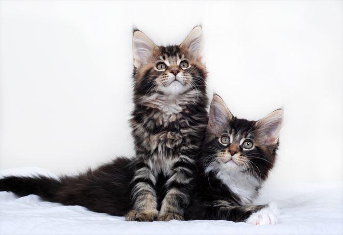 メインクーンの子猫2匹