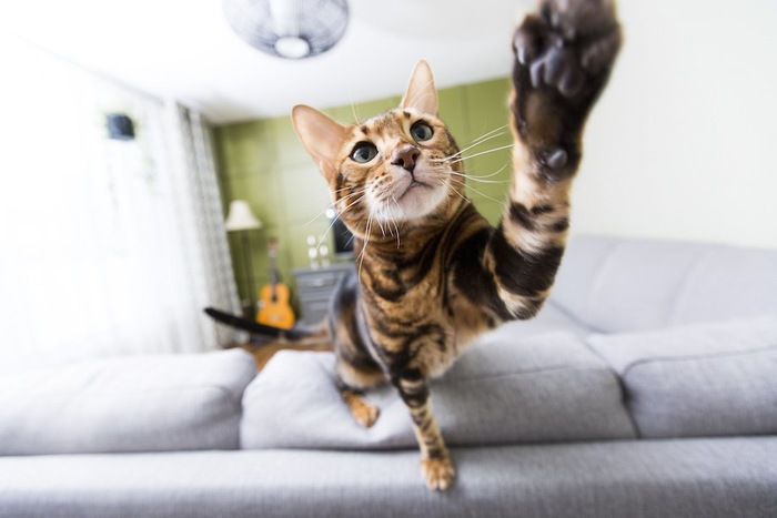 ソファーに乗って猫パンチをする猫