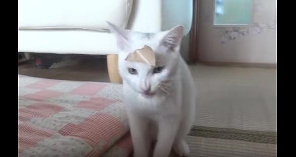 額にガムテープを貼りつけた白猫