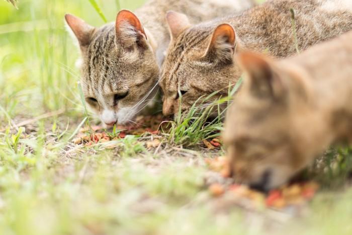撒かれたご飯を食べる野良猫たち