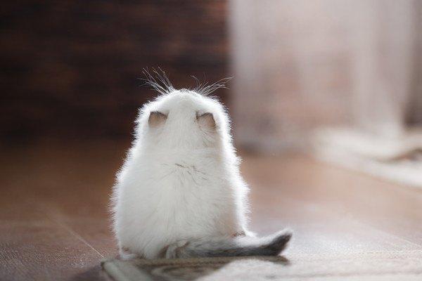 白い毛で耳が黒い子猫の後姿