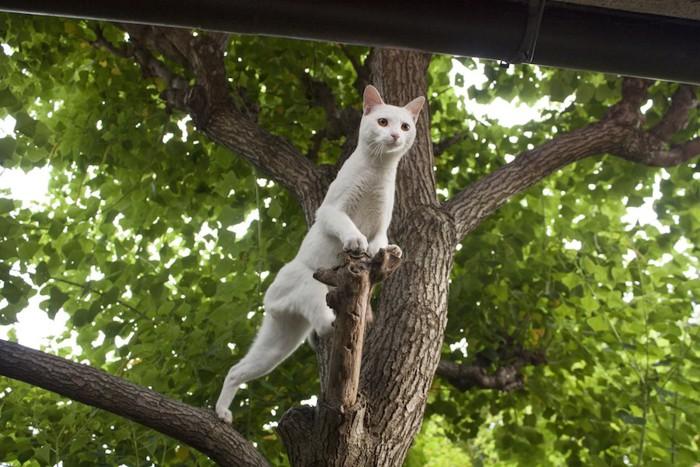 木に登って下を眺める白猫