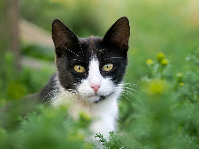 こちらを見るハチワレ猫