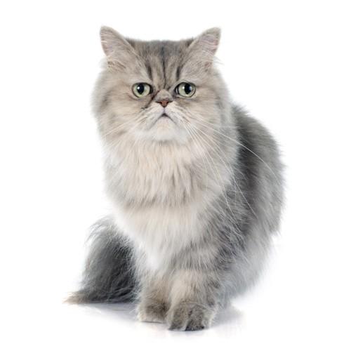 困り顔のペルシャ猫