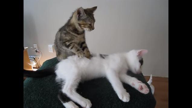 猫を見つめながらマッサージする猫