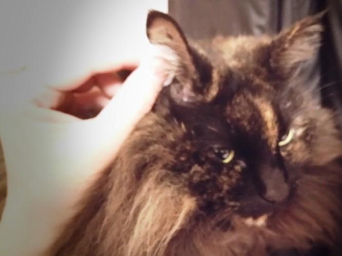 黒猫の耳掃除