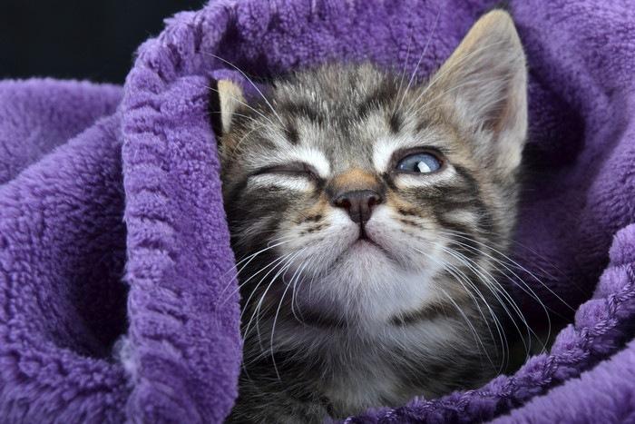 毛布にくるまってウインクする猫