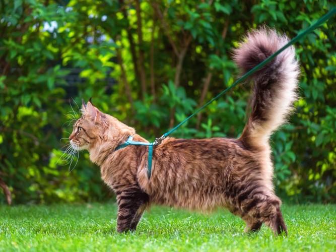 リードをつけて芝生の上を歩く長毛猫