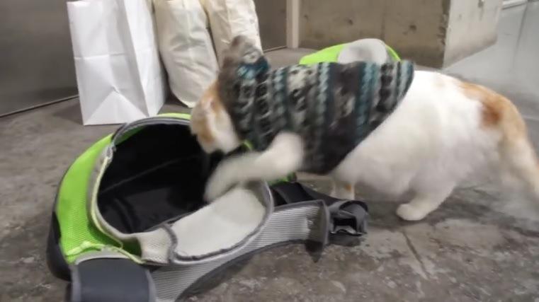 バッグに入ろうとする猫