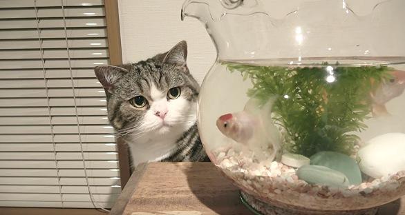 じっと金魚を見つめる猫