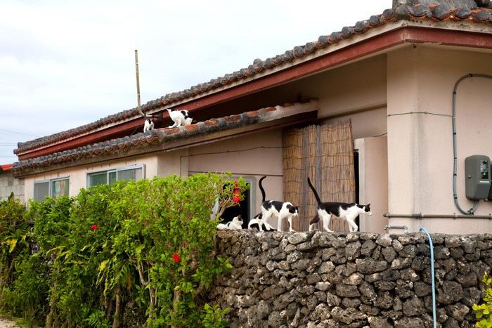 屋根や塀の上にいる竹富島の猫たち