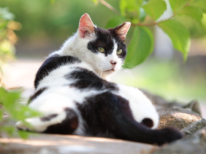 振り向いた白黒の猫