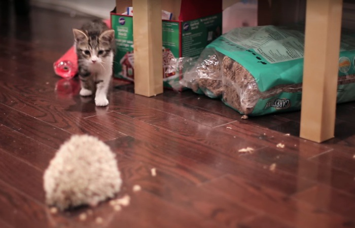 ハリネズミを見つける子猫