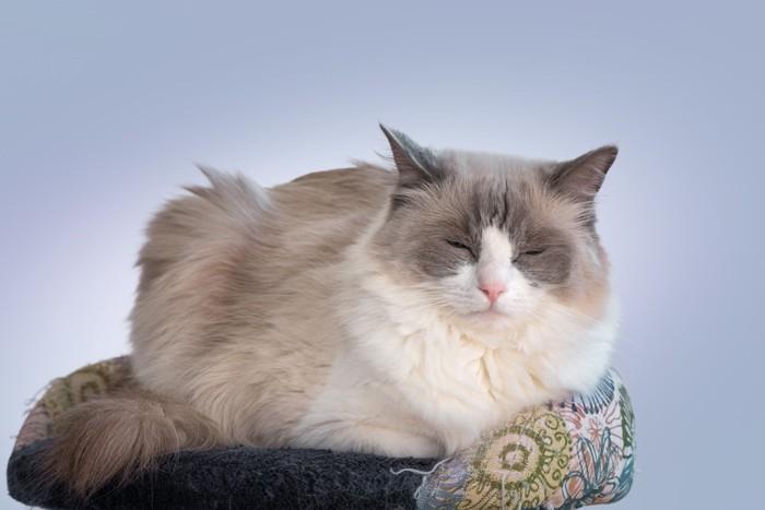 ラグドールの成猫の大きさ