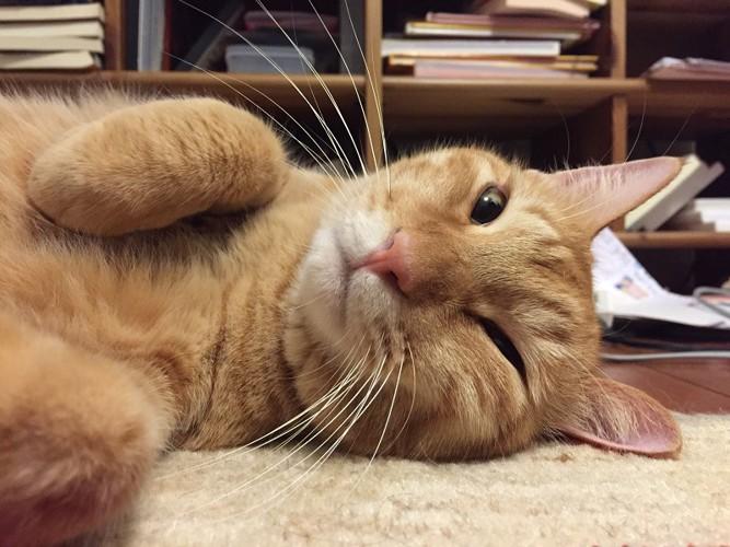 寝転ぶ茶トラ猫