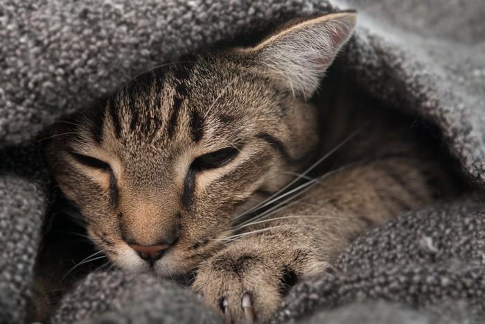 毛布の下で眠そうな猫