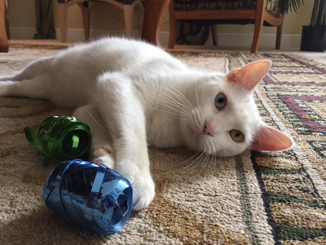 横たわる白い猫