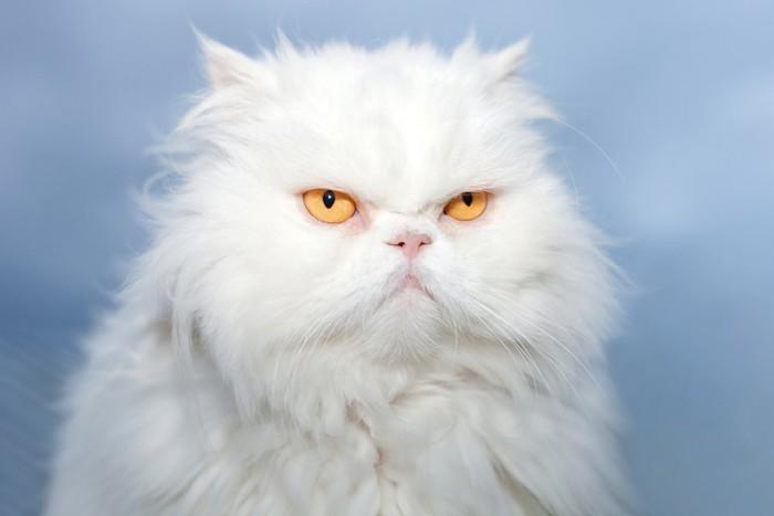 むっとした表情のペルシャ猫の顔アップ