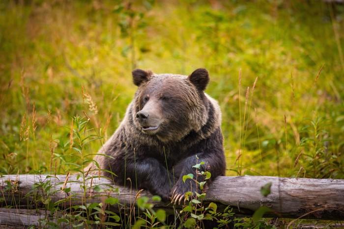 木につかまって休む熊