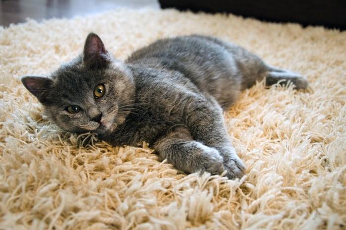 毛足の長いカーペットの上でくつろぐ猫