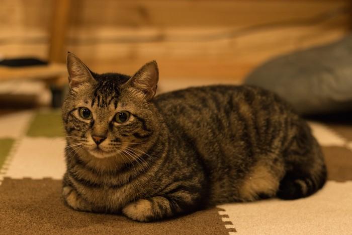 床に座っているよもぎ猫