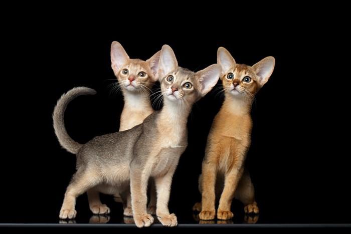 3匹のアビシニアン