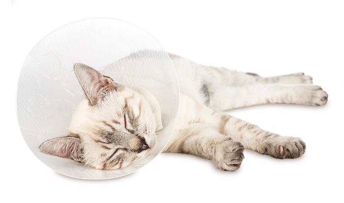 避妊手術を受けた猫