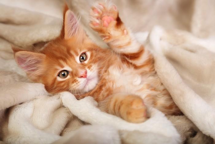 毛布に入っている子猫