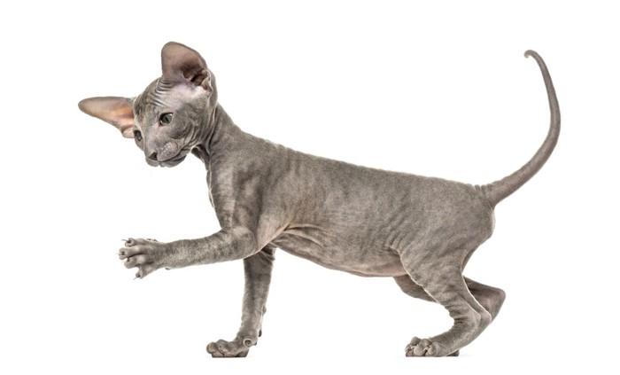ピーターボールドの子猫