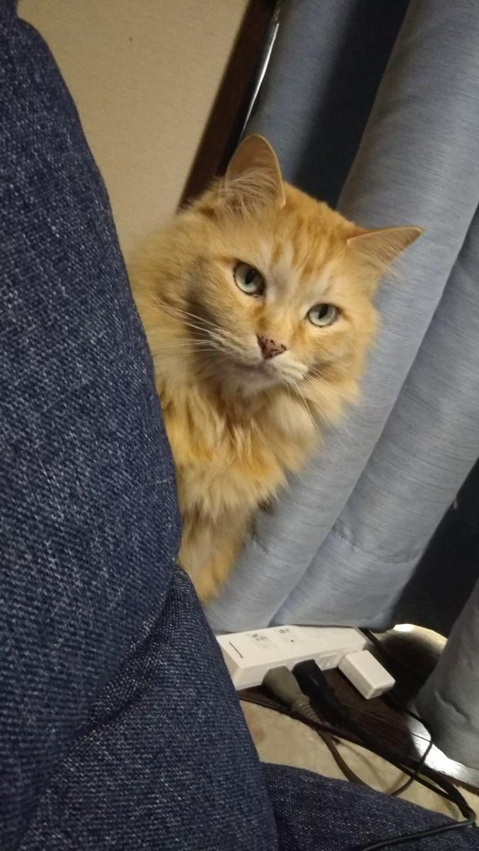 ソファーから顔出す猫