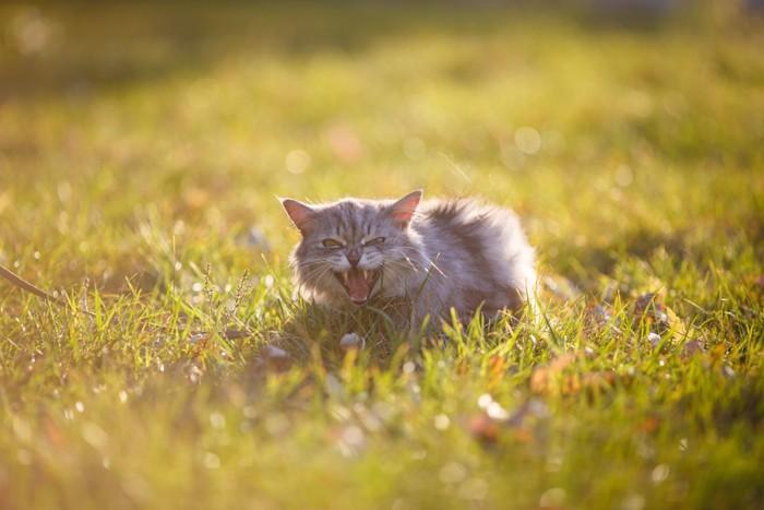 野原で鳴いている子猫